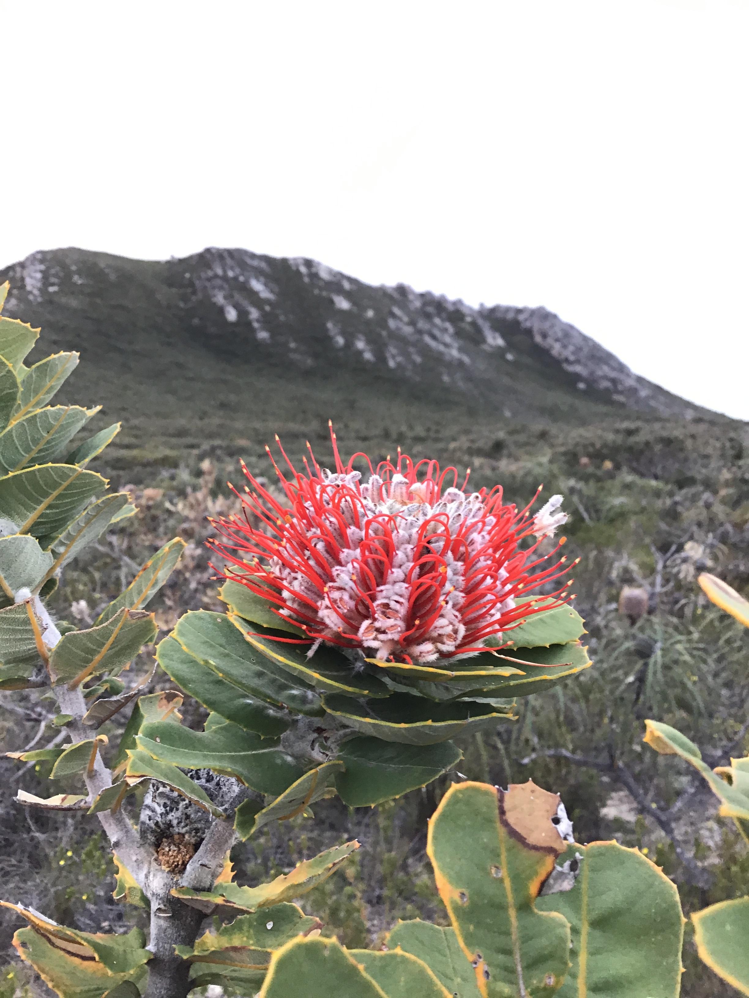 Banksia Coccinea - East Mt Barren.JPG