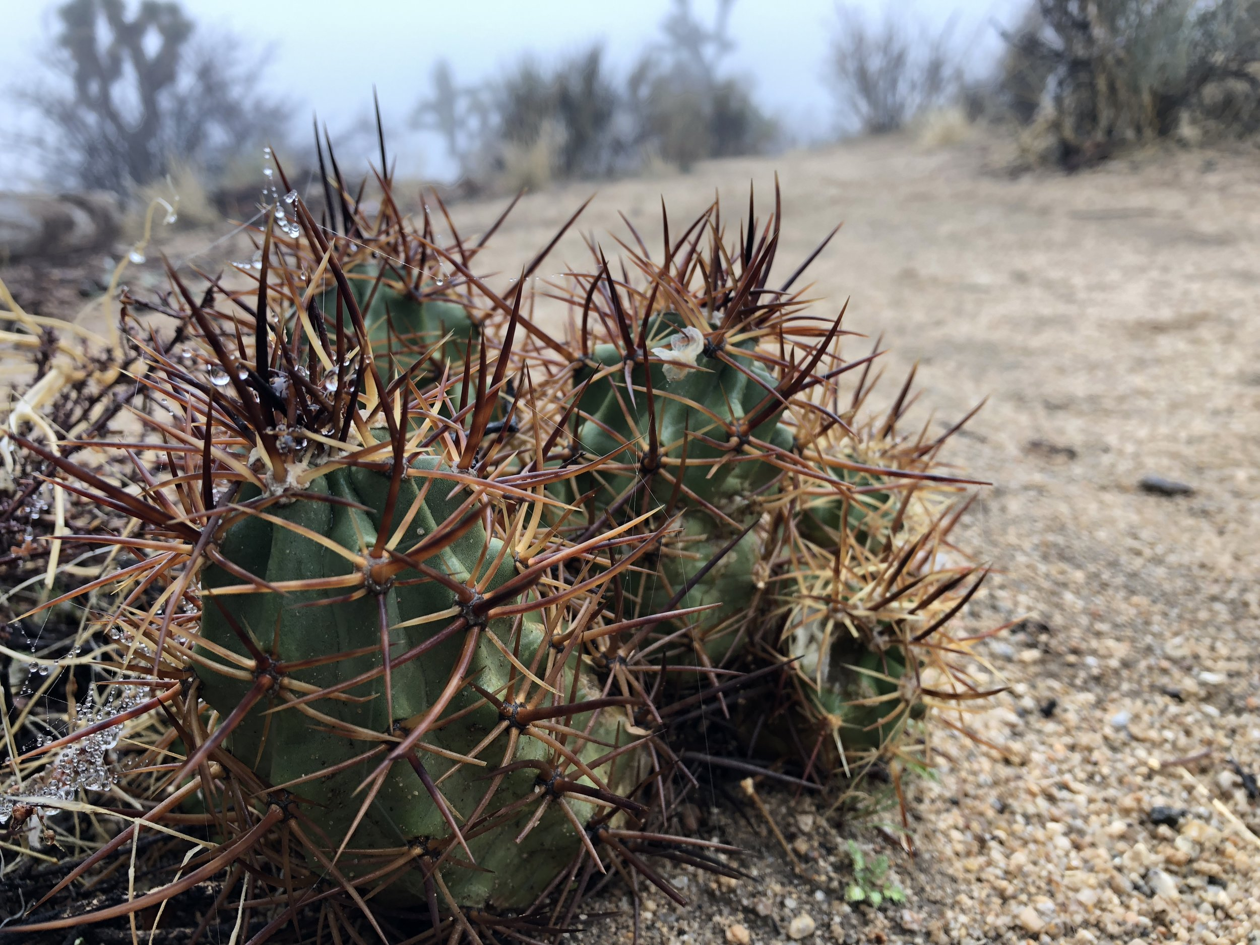 Joshua Tree - Hedgehog Cactus