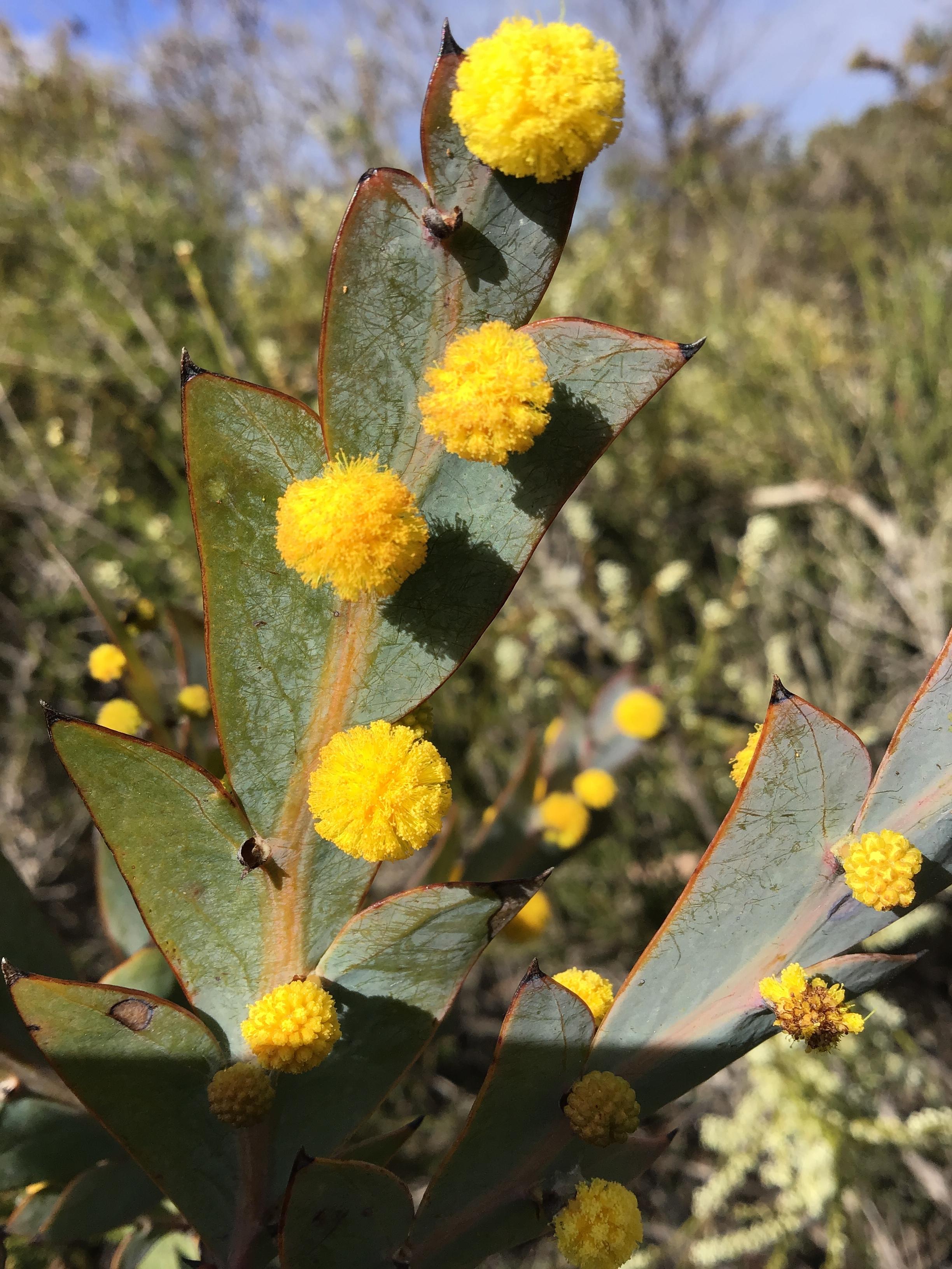 Acacia galucoptera - Flat Wattle - Ravensthorpe.JPG