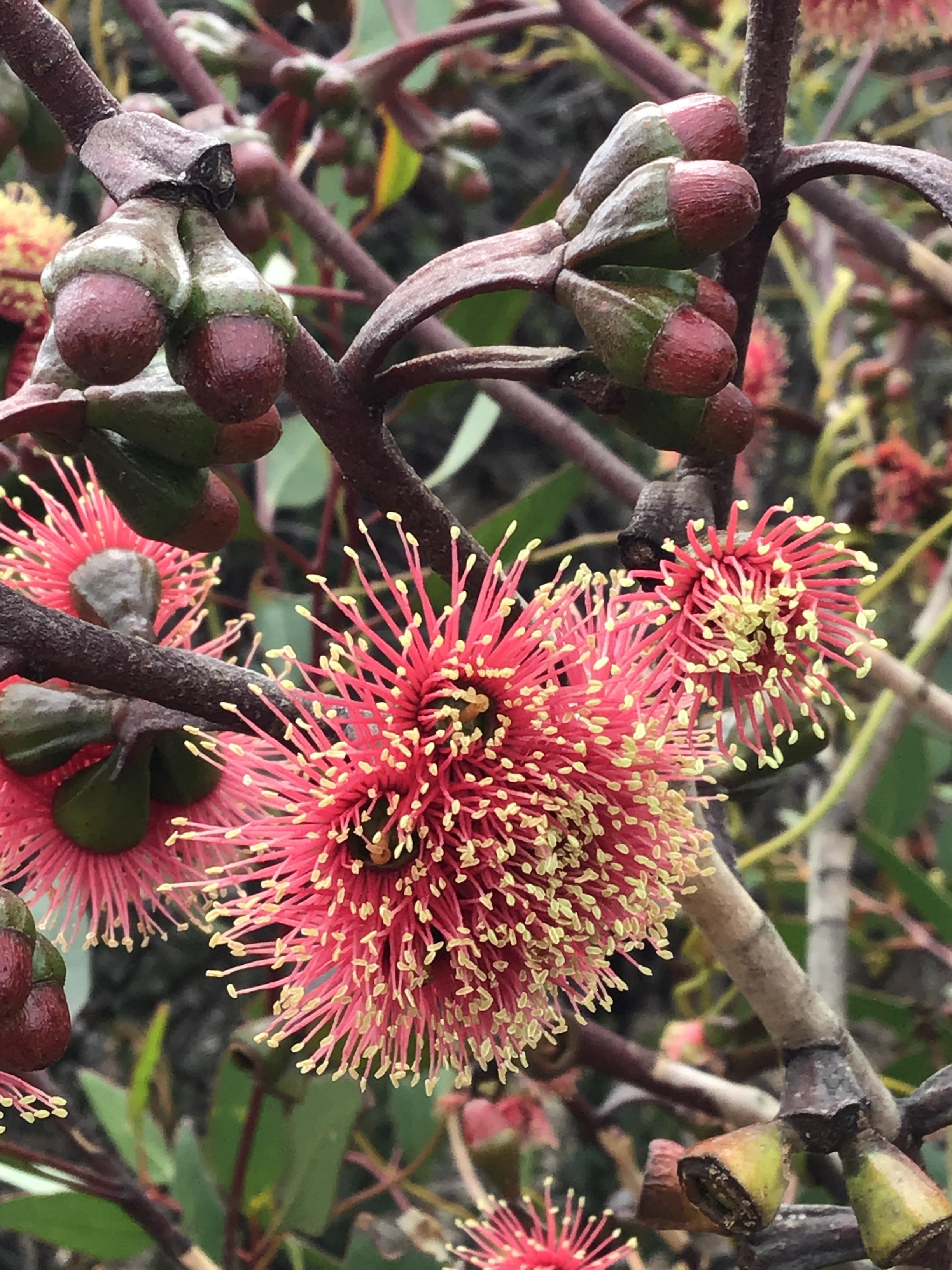 Eucalyptus Ravensthorpe Ranges 3.JPG
