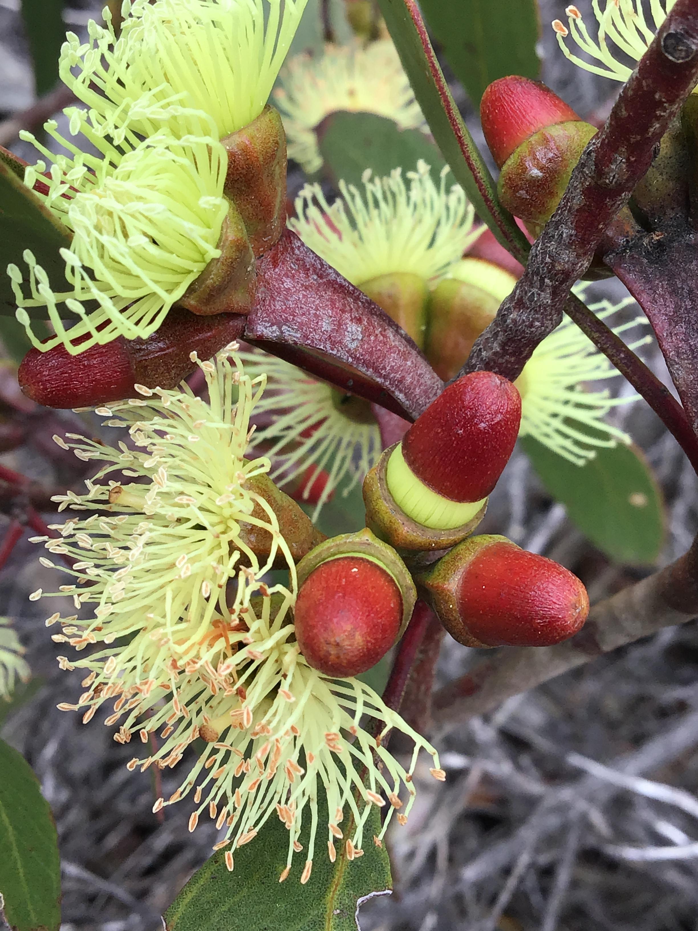 Eucalyptus 1 transforming.JPG