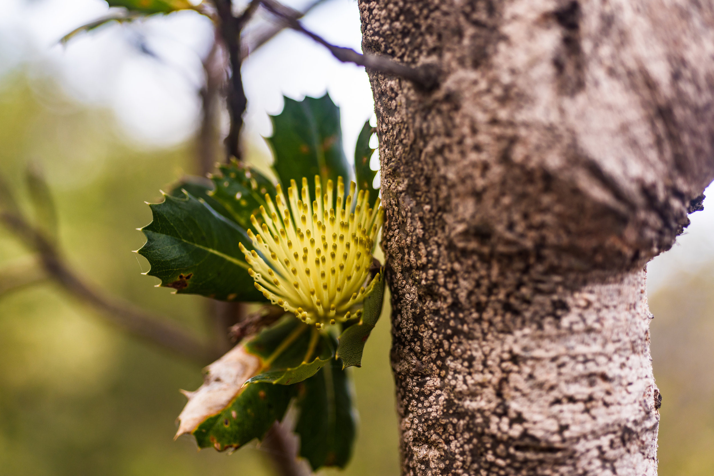 Pudjak…Banksia sessilis or parrot bush, abundant species in the southwest of Western Australia