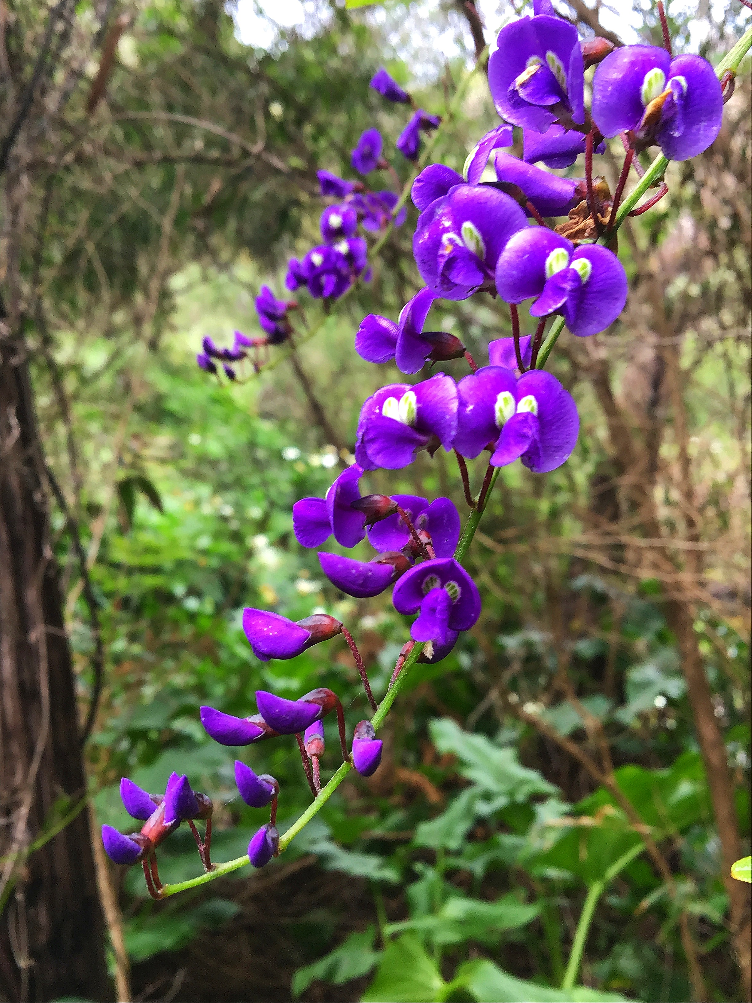 Koorla…Native Wisteria…near Boodjidup Creek on the Cape to Cape, Western Australia