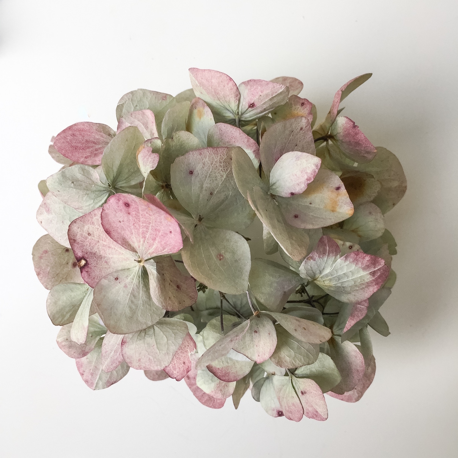 Faded blue hydrangea. Inspiration for the Autumn Winter Collection. Photo by Nina Parker
