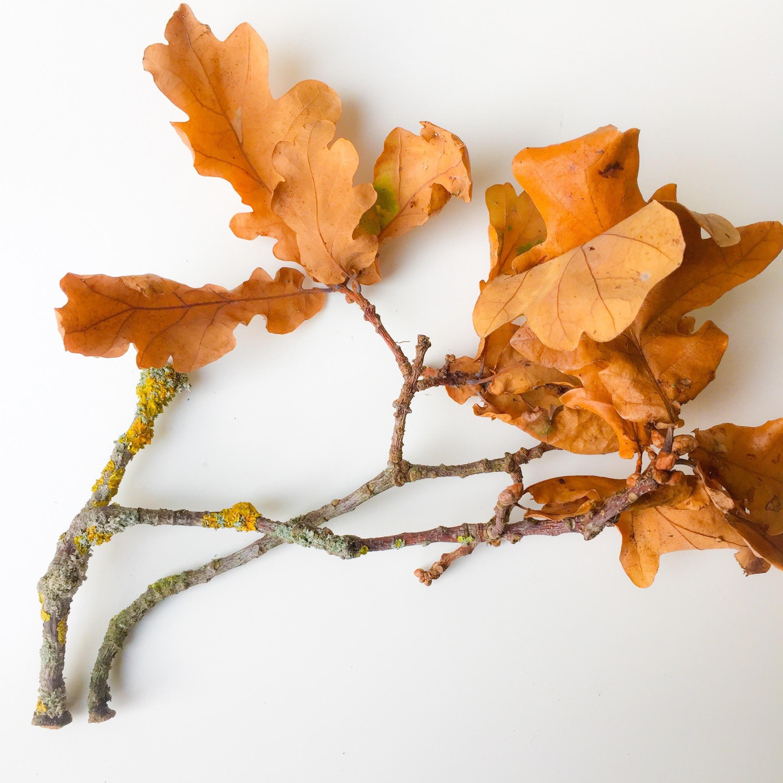 Oak leaves. Photo by Nina Parker