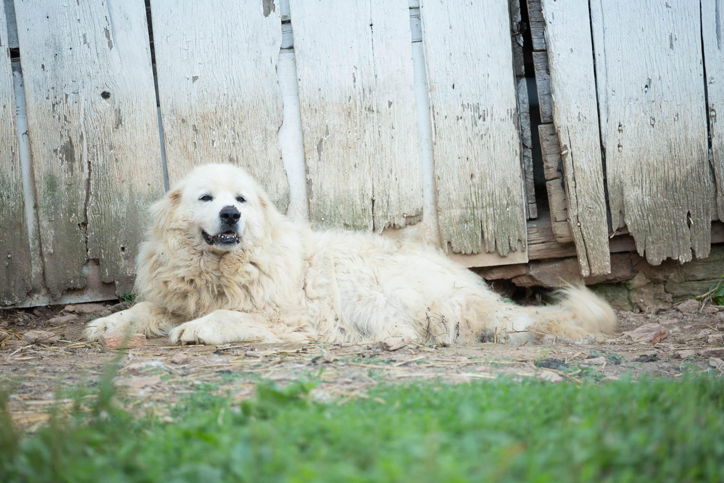 Livestock guardian dog on a flower farm in whiteford MD