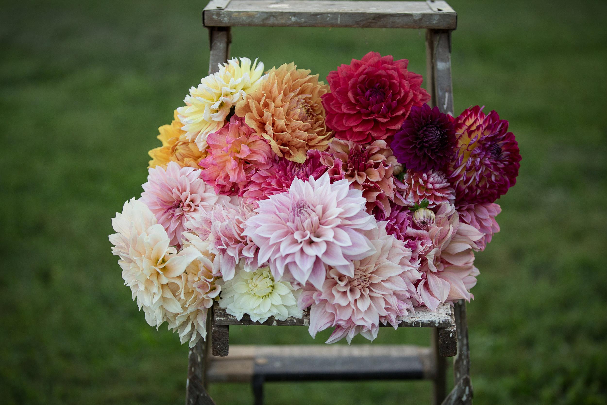 DIY Organic Designer Dahlia Flowers