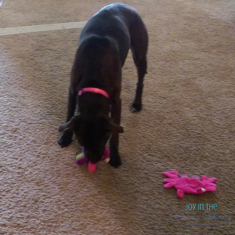 She's determined to get the squeaker out of that octopus!