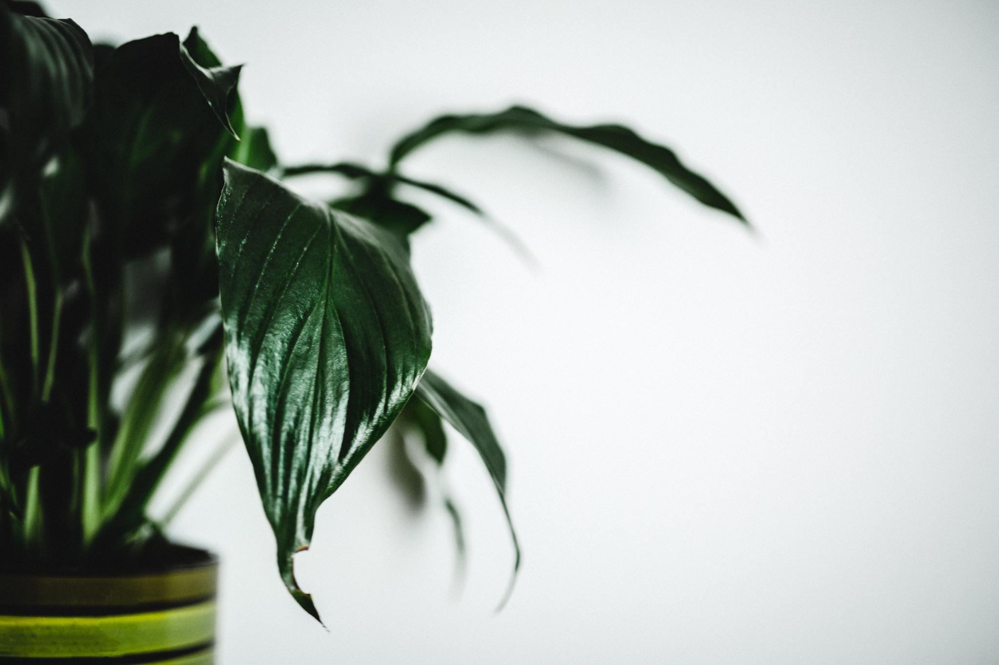 Edmonton Photographer - Peace Lily Leaves Pattern