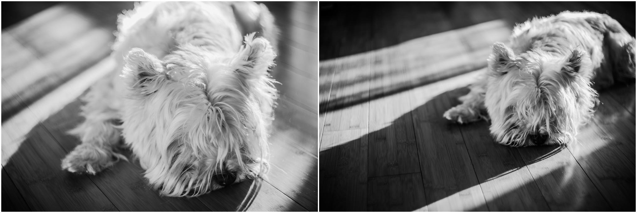 Treelines Photography - National Puppy Day 2017 - Edmonton Photographer - West Highland Terrier