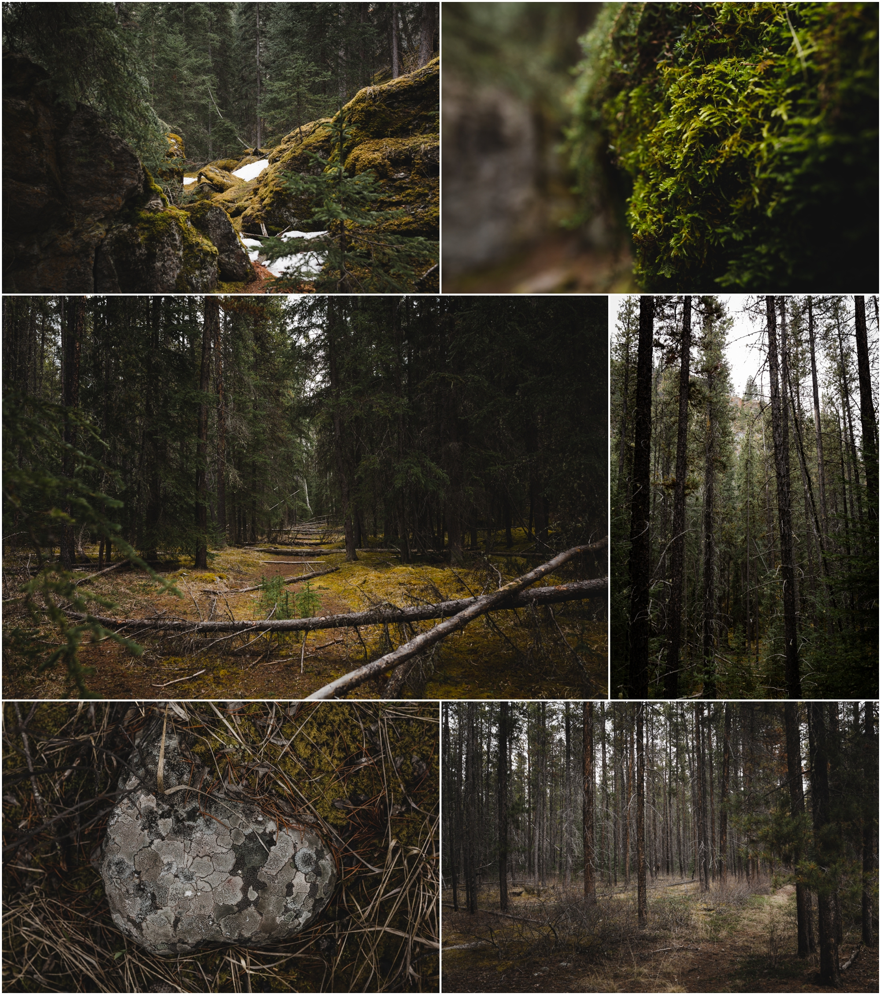 Jasper National Park - Hiking Trails - Old Fort Point - Pine Trees - Moss - Treelines Photography
