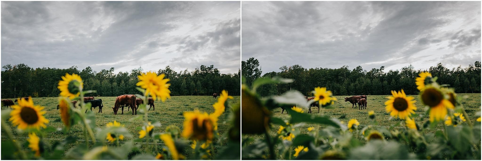 Treelines Photography - Edmonton Lifestyle Photographer - Edmonton Landscape Photographer - Sunflowers