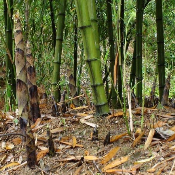 bambu046.jpg