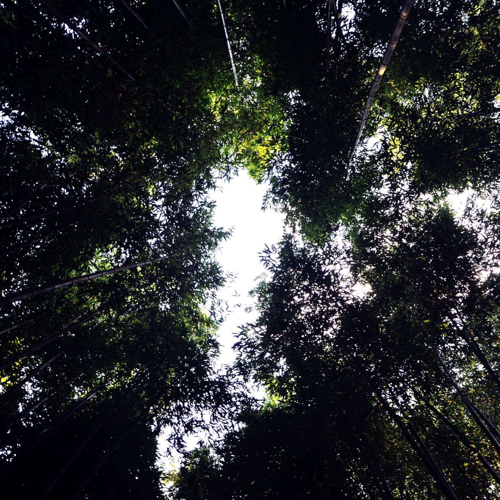 - Los bambúes son plantas de la familia de las gramíneas (Poaceae), de la subfamilia Bambusoideae. En el mundo existen 1500 especies y 90 géneros de bambú, distribuidas en los cinco continentes, principalmente en áreas tropicales y subtropicales con alturas que van hasta los 40 m de altura, un diámetro de hasta 30 cm en la base y de diferentes colores (verdes, amarillas, negras).El bambú se compone del rizoma, culmo (la caña, compuesto por nudos y entrenudos), yema, complemento de rama, hoja caulinar y follaje. Al bambú se los clasifica de diferentes formas, una de las clasificaciones mas comunes es de acuerdo a su rizoma que pueden ser paquimorfo (no invasores que crecen en matas ya que tienen una estructura rizomatica muy corta y gruesa), leptomorfo (invasores que generan lo comúnmente llamado cañaverales, tienen una estructura subterránea elongado y delgado que pueden generar una red bajo tierra) y amfimorfo (combinación de ambas).Se lo llama el acero vegetal, por sus propiedades y eficiencia estructural siendo un material totalmente natural, es sustentable, liviano y flexible. Además tiene un rápido crecimiento e infinitos usos.