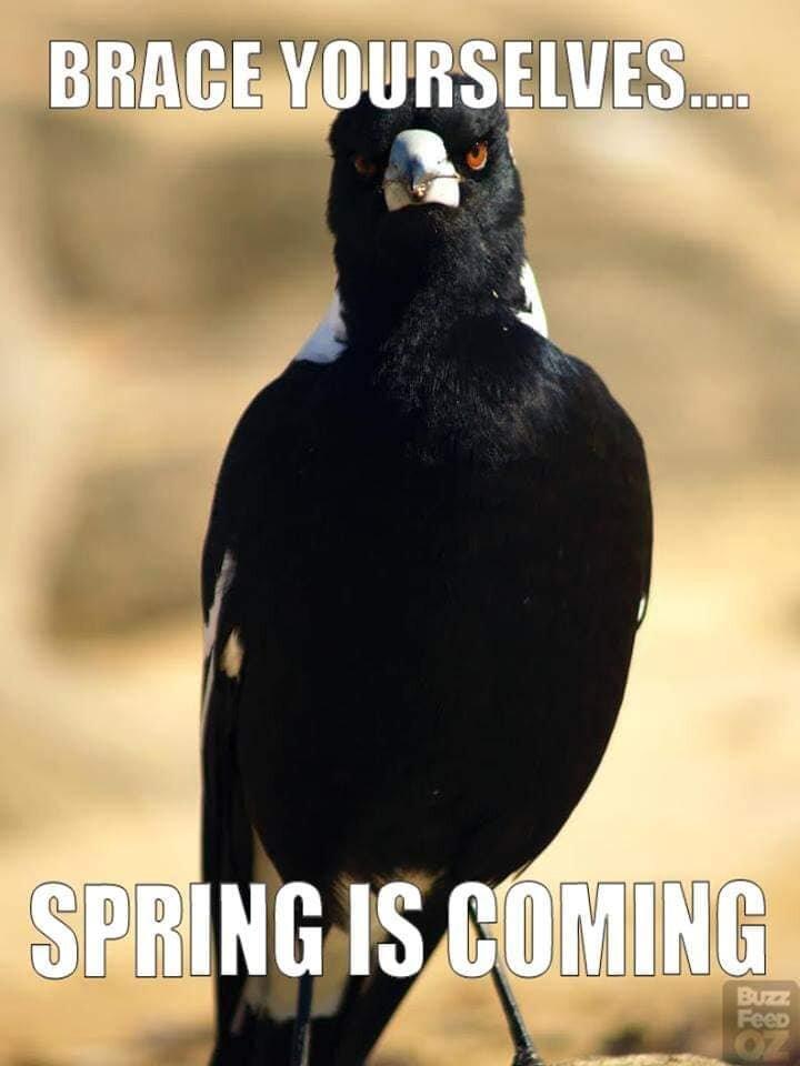 Magpie season.jpg