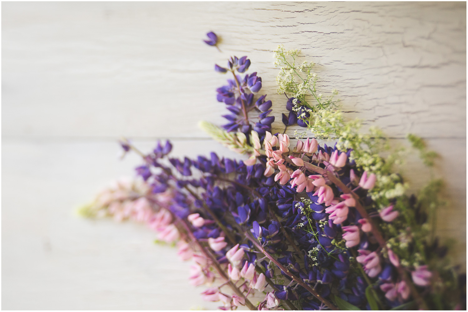Pink and purple lupine