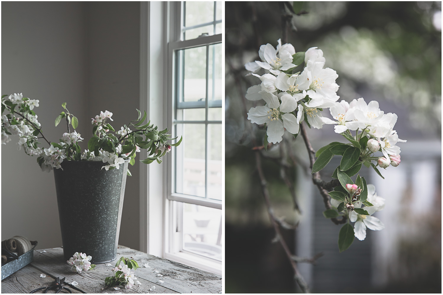 Apple blossoms on a spring day