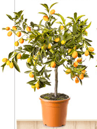 Meyer Lemon Tree in Container Great for Apartments & Condos on Patios and Balconies