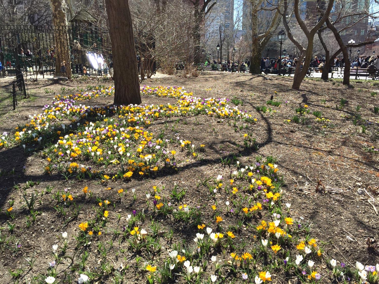Crocus-Flowers-Spring-Washington-Square-Park-New-York.jpg