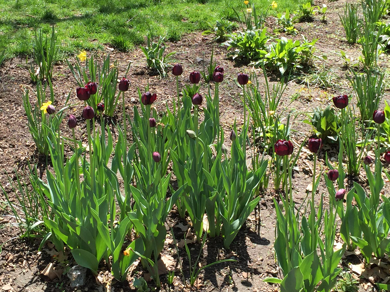 Burgundy-Tulips-Washington-Square-Park-New-York-City.JPG