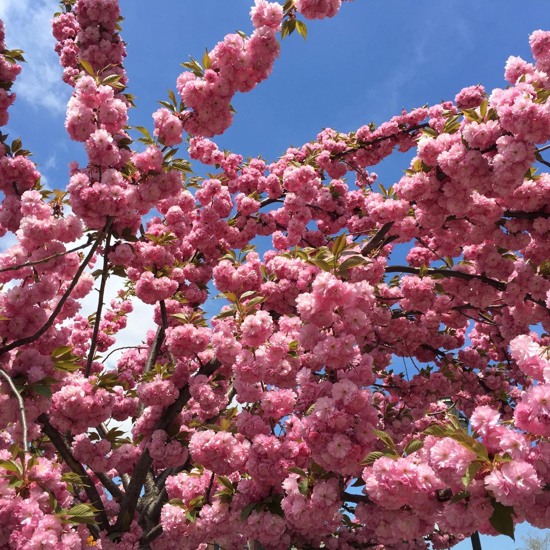 Cherry-Tree-Flowers-Blossom-Washington-Square-Park-NYC.JPG