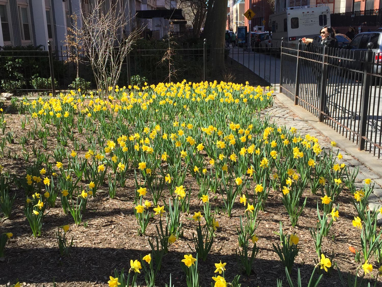 Yellow-Daffodils-NYC-spring.JPG