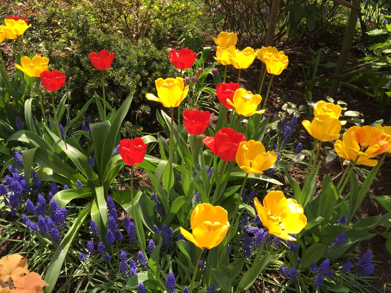 Grape-Hyacinths-Red-Yellow-Tulips.JPG