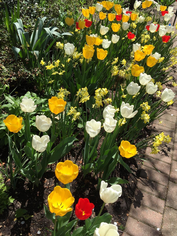 Spring-Daffodils-White-Yellow-Tulips.jpg