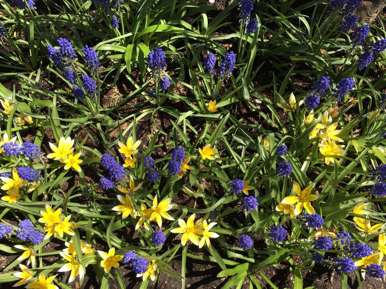 Tarda-Tulips-Grape-Hyacinths.jpg