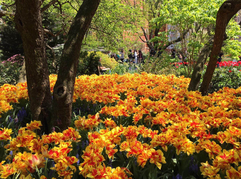 Yellow-Red-Striped-Tulips-Jefferson-Market-Garden-New-York-City.jpg