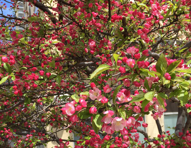 Crab-Apple-Tree-Flowers-blooming-NYC.JPG