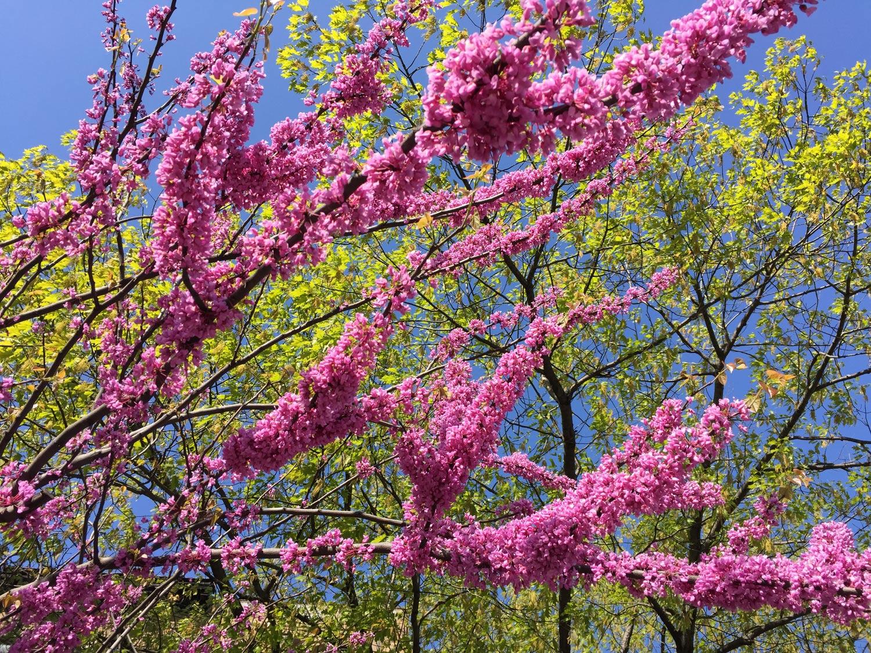 Eastern-Redbud-Tree-Flowers-Spring.JPG