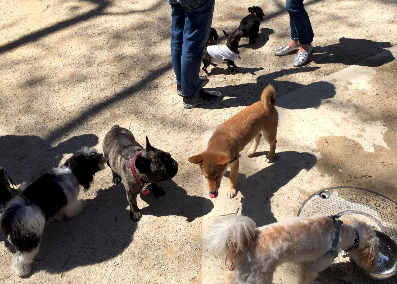 Small-Dog-Run-Washington-Square-Park-New-York-Shiba-Inu-Puppy.jpg