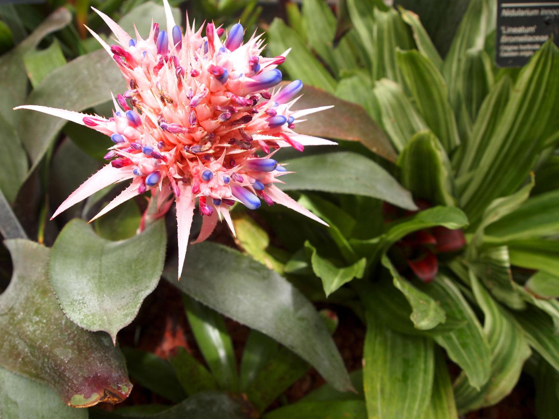 Montreal-Botanical-Garden-Greenhouse-Aechmea-Bromeliad.jpg