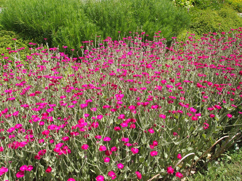 Montreal-Botanical-Garden-Rose-Campion-Silene-Coronaria.jpg
