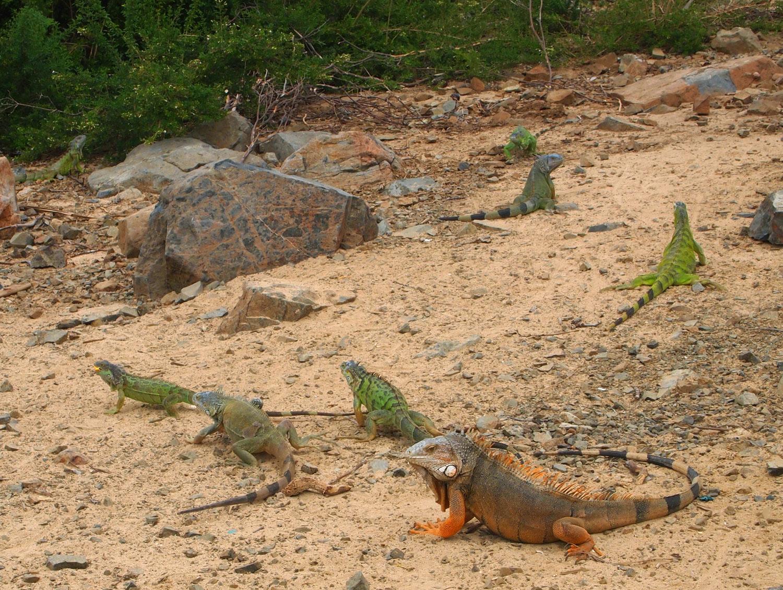 Saint-Martin-Pinel-Island-Iguanas.jpg