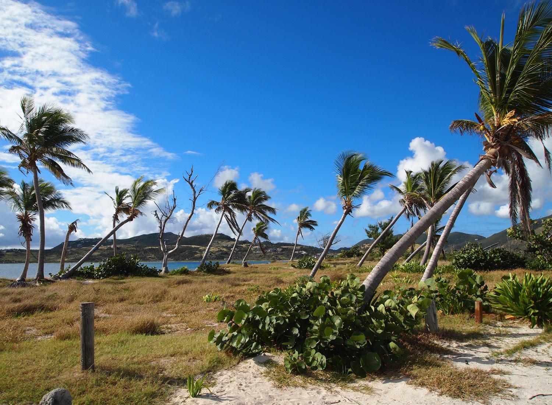 Saint-Martin-Le-Galion-beach-palms.jpg