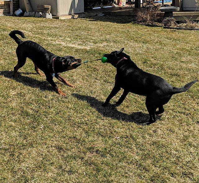 "The older pup isn't going to take this long down. ""My ball!"" Thank goodness for good weather to get to play outside more."