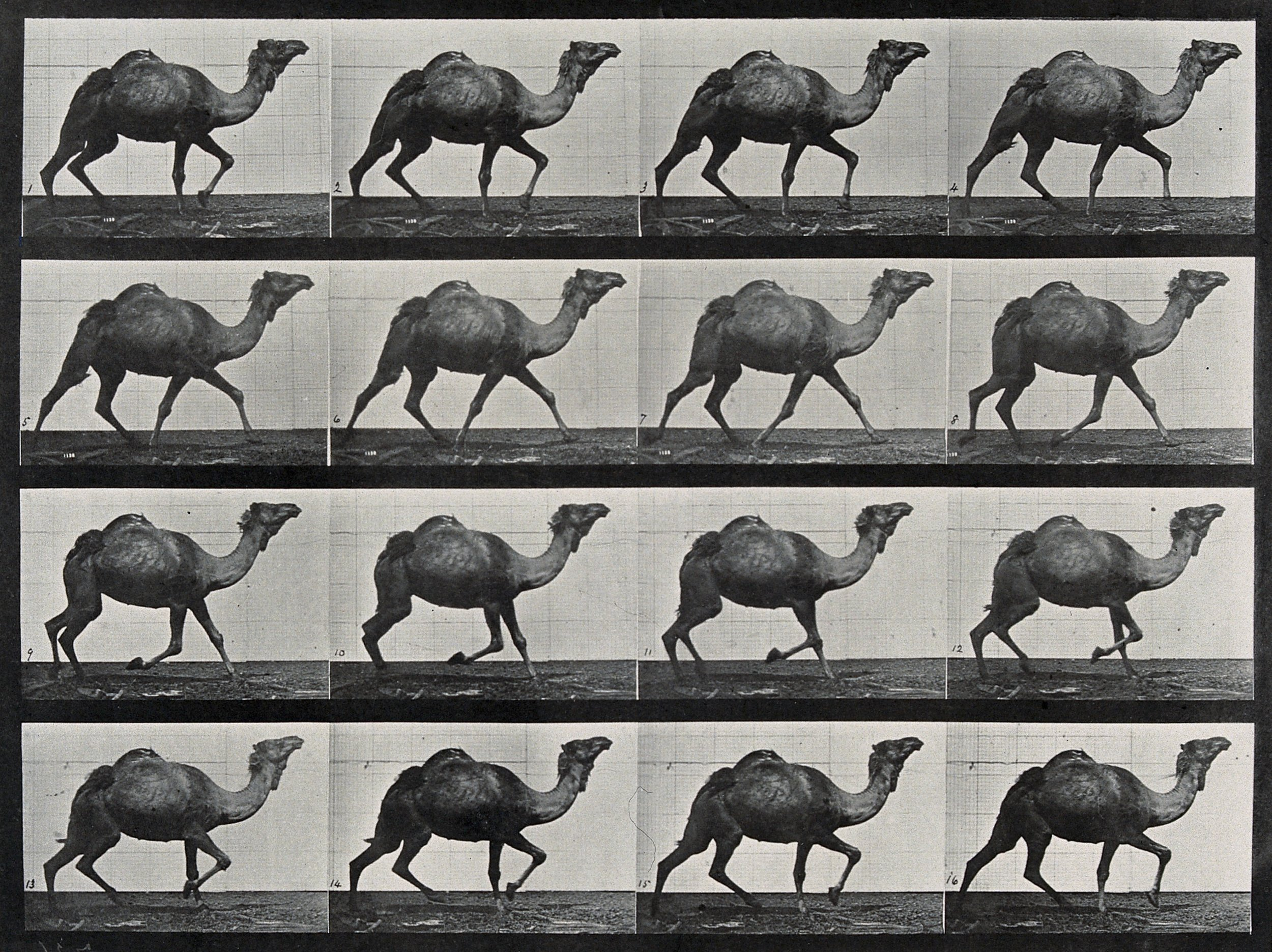 Eadweard Muybridge, A single humpback camel walking (CC-BY)