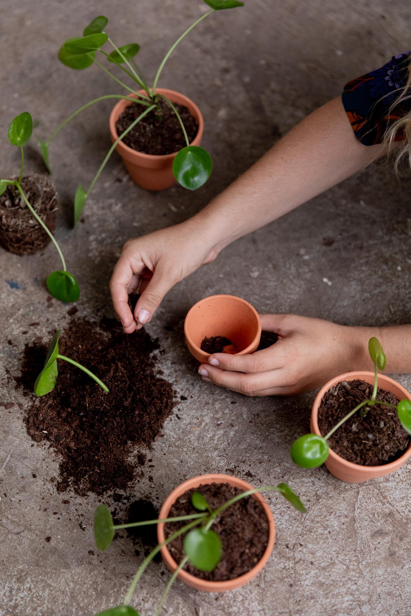 - Todas las plantas se entregan trasplantadas y con maceta de barro