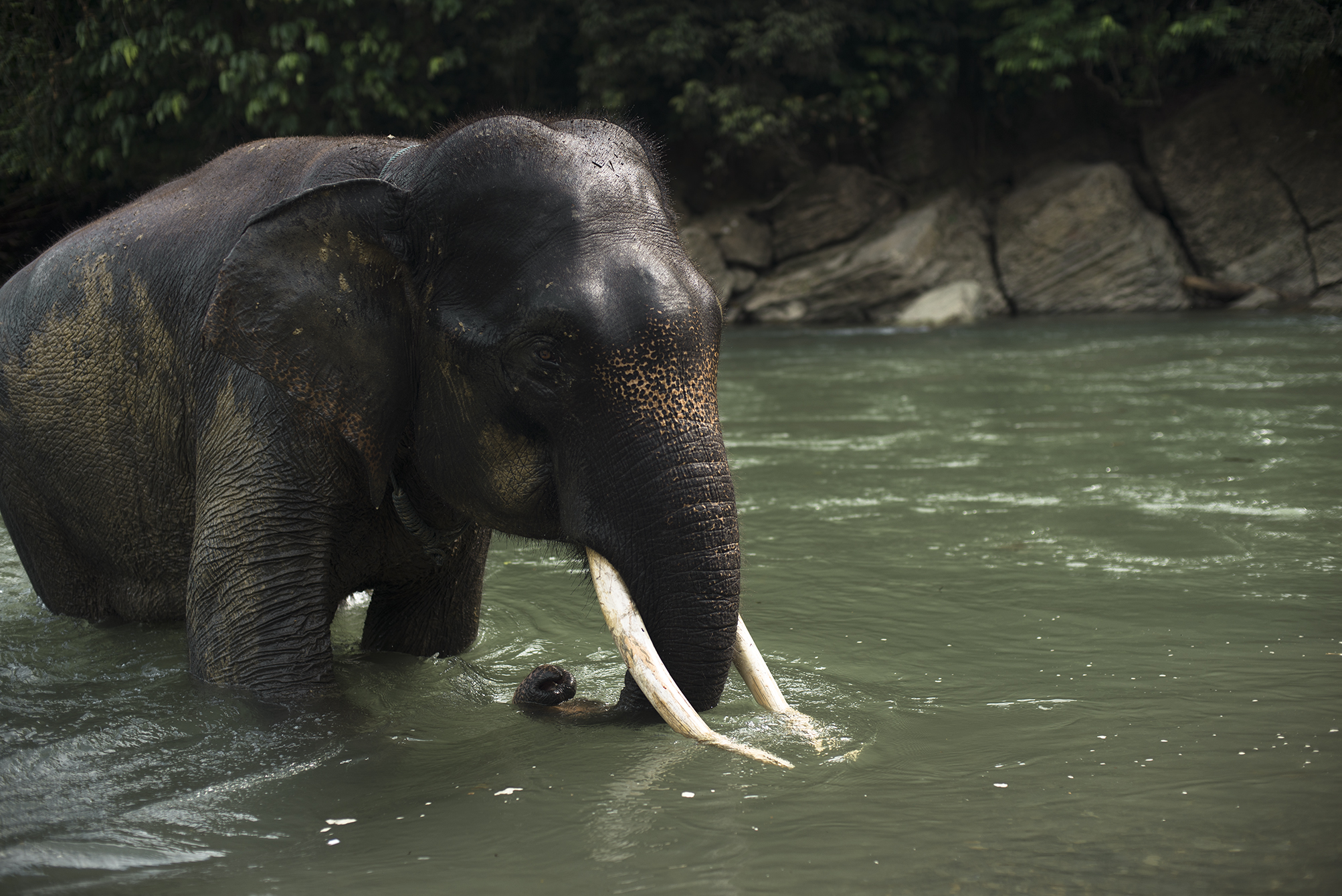 Critically endangered Sumatran elephant, the smallest elephant in the world.