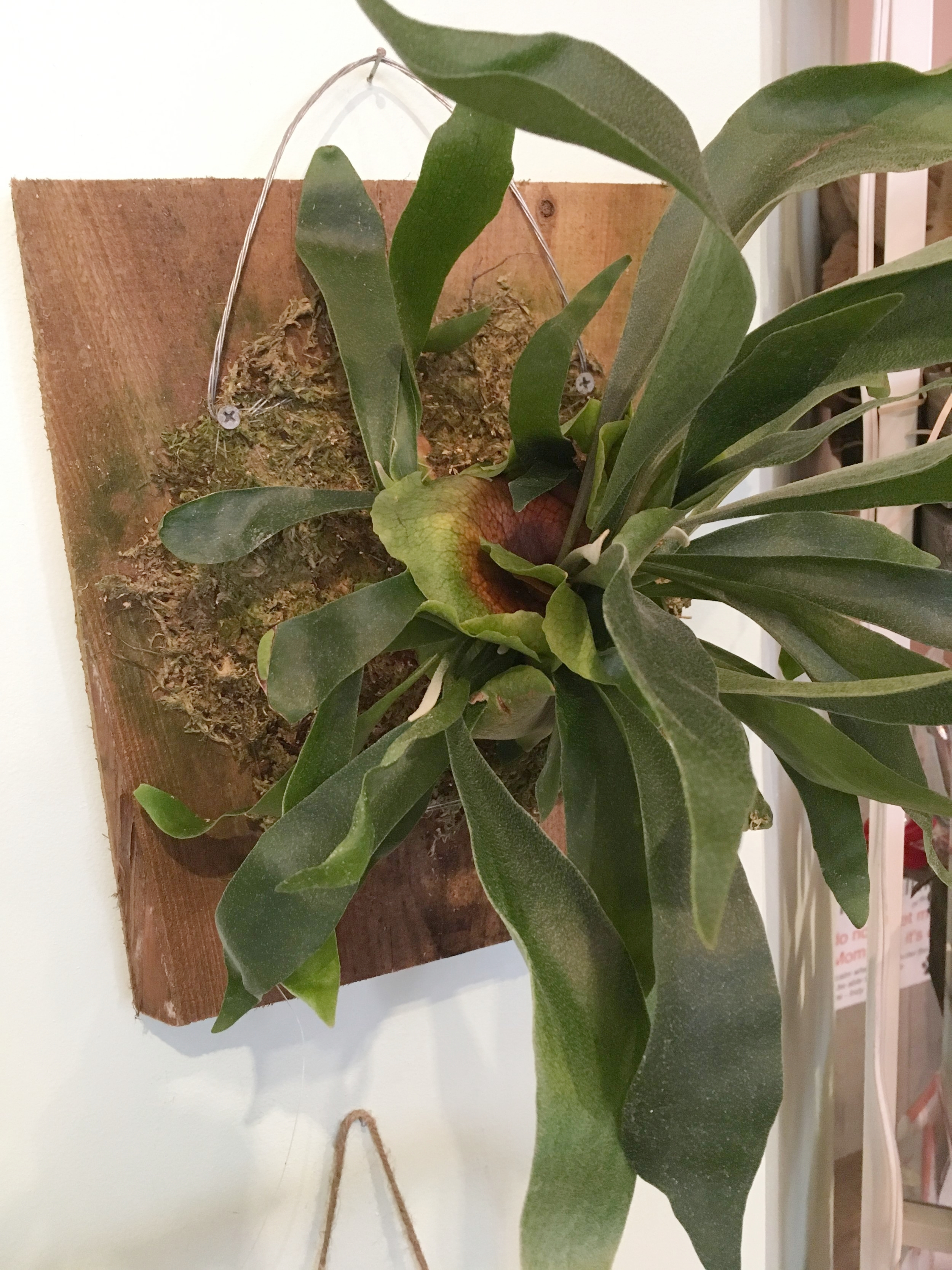 Unusual Plants - We are well stocked this spring! Check out this Staghorn wall fern