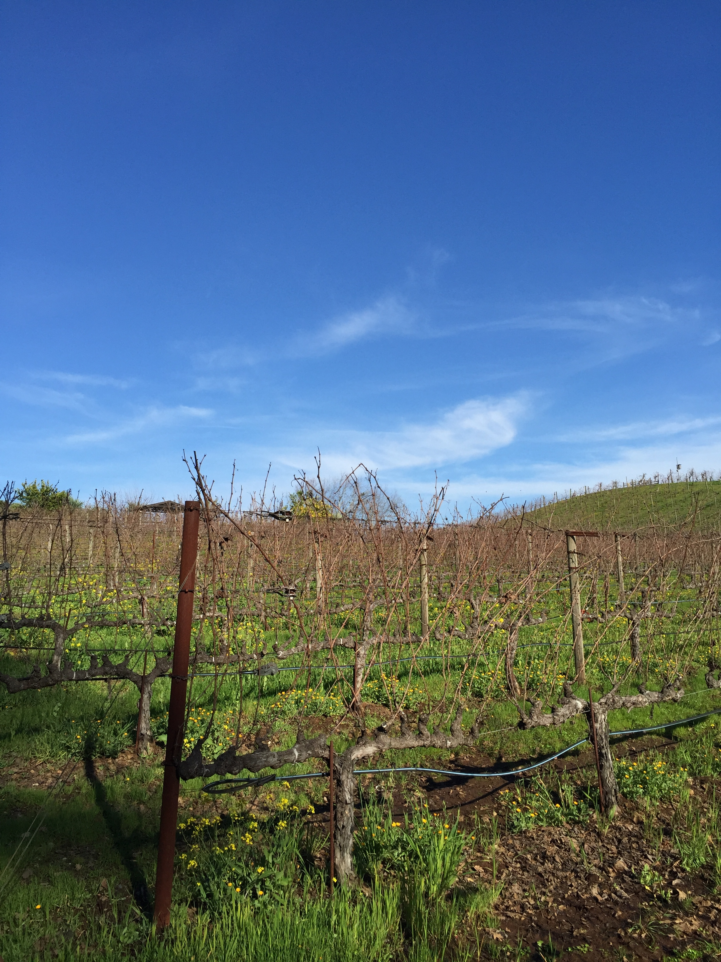 Mustard growing within the vines builds soil fertility