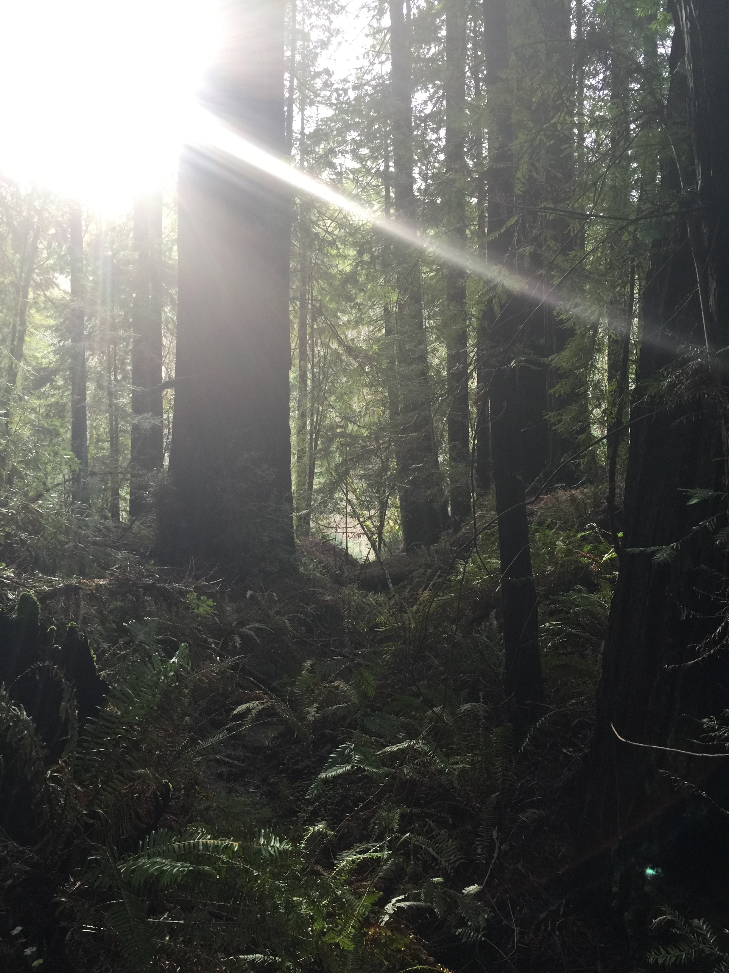 Magical happenings with Sequoia sempervirens in Redwood State Park, Humboldt