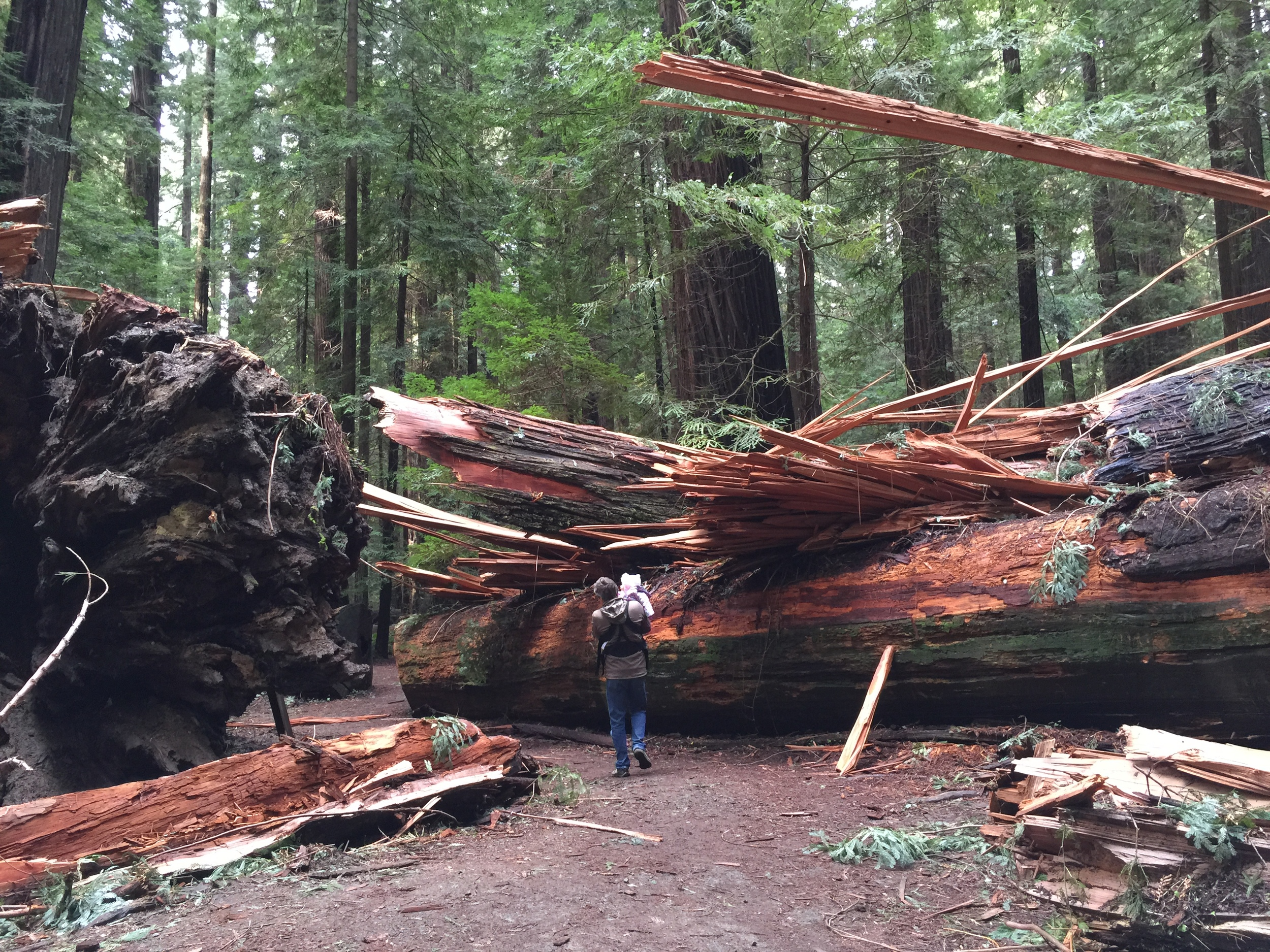 On the Founders Grove Trail, found this tree that had fallen just 3 weeks earlier