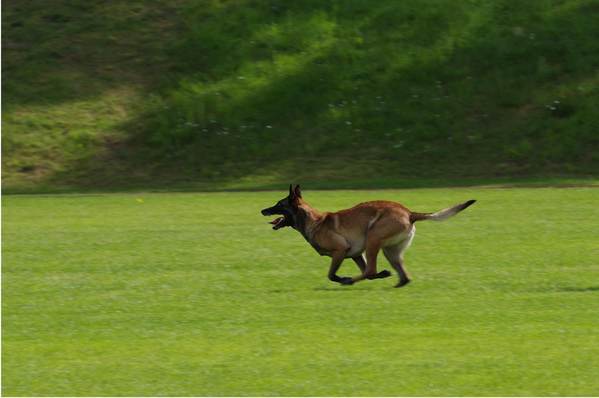 Dog running through park