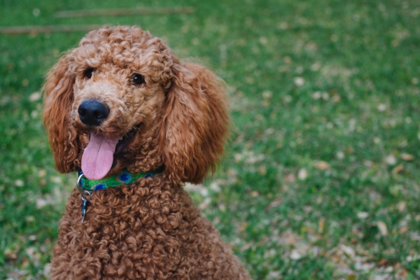 Poodle in Grass.jpg