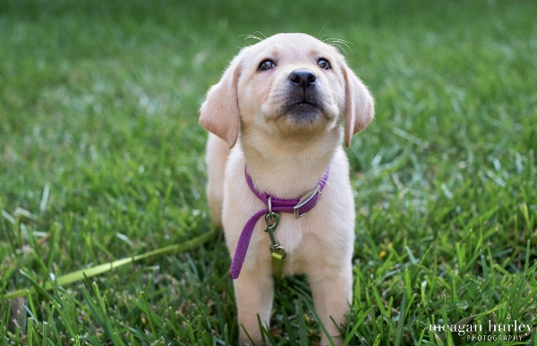 yellow labrador puppy in grass