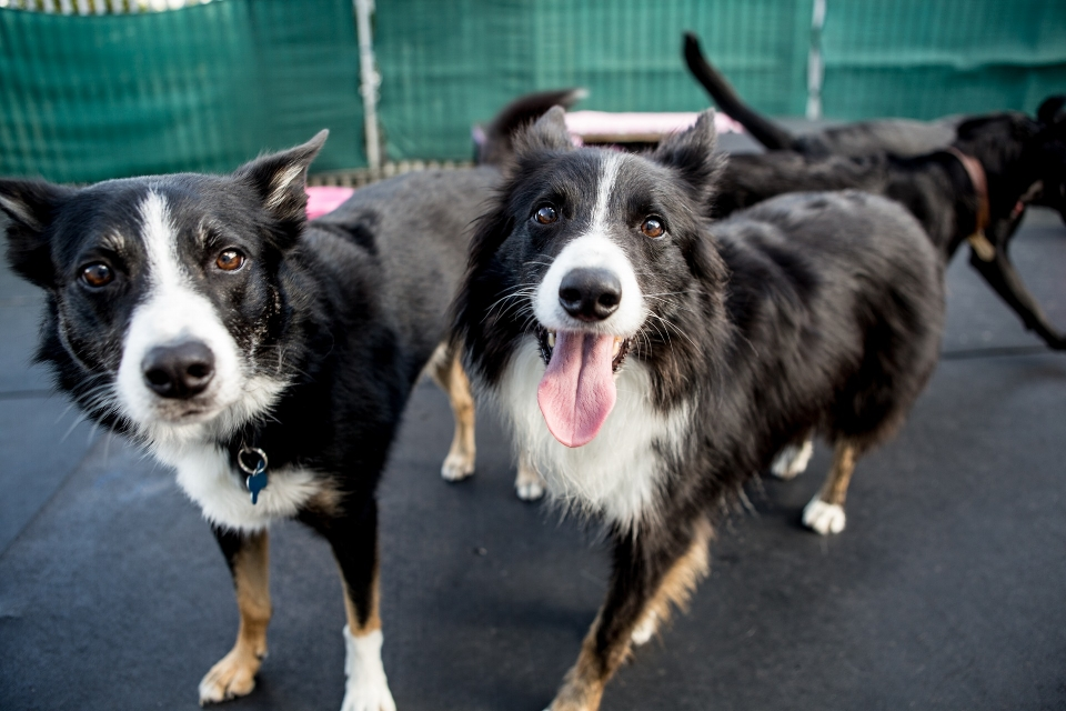 border collie at day care.jpg