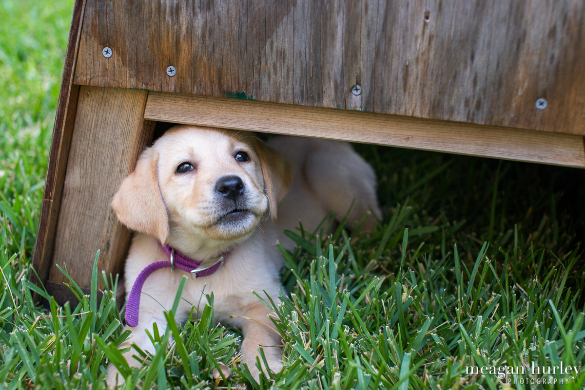 Yellow-Lab-Puppy-in-Grass.jpg